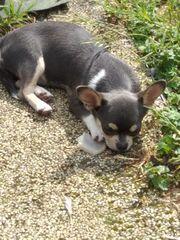 Wunderschöner kurzhaarige Chihuahua Rüde blue