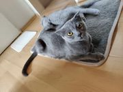 Scottish Fold zucht Katze
