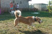 Rumänischer Hirtenhund Big Lady 2