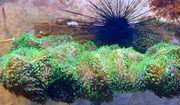 Meerwasser Rhodactis Green Fuzz pro