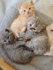 3 superschöne bkh kitten