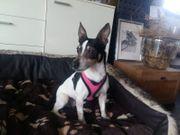 Kira Rat Terrier 8 Jahre