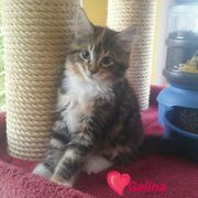 Zauberhafte reinrassige Maine Coon Kitten