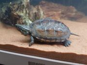 Chinesische Dreikielschildkröten Wasserschildkröten Mauremys Reevesil