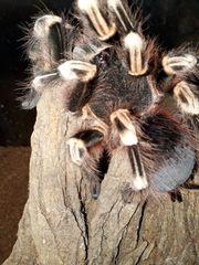 0 1 Acanthoscurria geniculata - Vogelspinne