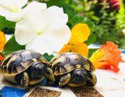 Griechische und maurische Landschildkröten NZ21