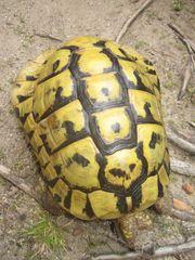 Griechische Landschildkröte männlich 32 Jahre