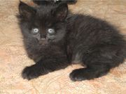 Reizende Kätzchen - Perser Mischlinge von