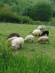 zackelschaf Schaf Landschaftspflege
