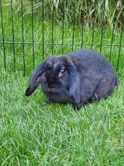 Zwergwidder Häsin geb 2018 Kaninchen