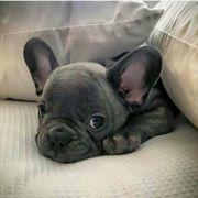 Shöne Französische Bulldoggen Welpen