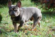 Französische Bulldogge Blue Lilac Tan