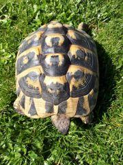 Griechische Landschildkröten Weibchen THB