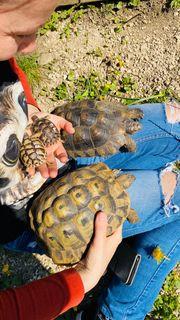 Breitrand Schildkröten Testudo Marginata 8