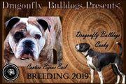 Bulldog Welpen OTBA e V