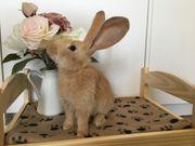 Kaninchenjunges sehr zahm und stubenrein
