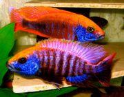 Aulonocara-lwanda Varianten Sciaenochromis-purplered fryeri ahli