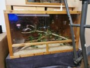 königspython piedbald