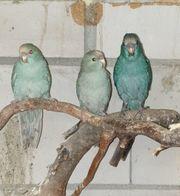 Junge Ziegensittiche auch als Vogelfamilie