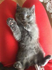 Britische Kurz Haar Katzen sucht