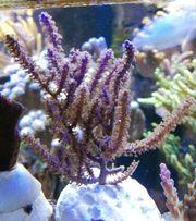 Meerwasser Gorgonie