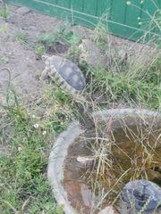 breitrandschildkröten NZ