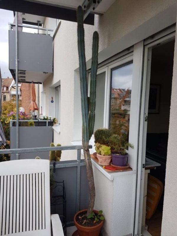 Säulenkaktus 2 Meter