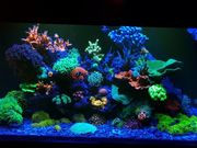 Korallen Meerwasser Ableger für schmalen