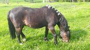 Reitbeteiligung an Pony zu vergeben