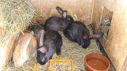 Kaninchen Männchen und Weibchen Schwarz