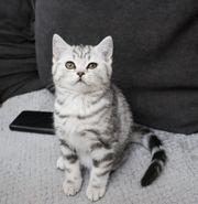 Britisch Kurzhaar BKH Kitten Whiskas-look