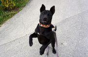Thai Ridgeback Dog thailändischer Hund