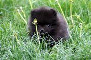 Zauberhafte Pomeranian Mädchen mit Papieren