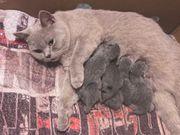 Britisch Kurzhaar Katzenbabys kitten kätzchen