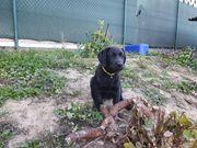 Letze Labrador Welpe Mädchen