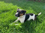 Jack Russell Terrier Deckrüde mit