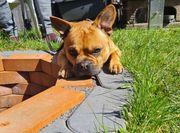 Deckrüde Französische Bulldogge Mix
