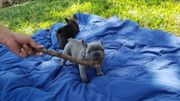 Blaue französische Bulldogge BEREIT ZU