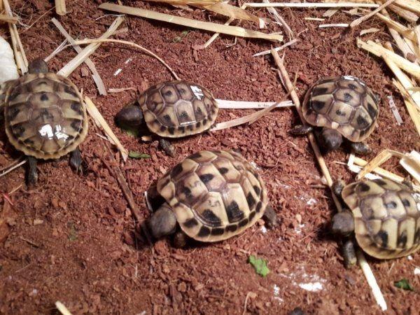Griechische Landschildkröten mit Cites 2018 in Adlkofen