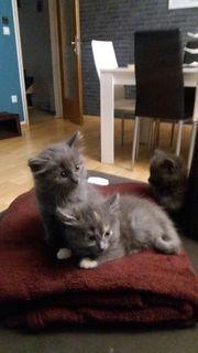Main -Coon EKH Kitten