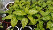 Chili Pflanzen bio Carolina Reaper -