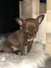 Reinrassiges Chihuahuamädchen abzugeben