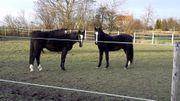 Ein tolles Paar Pferde