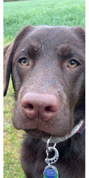 Labrador deckrüde mit stammbaum von