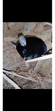 2 Chinchilla Weibchen schwarz
