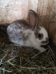 3 Junge Kaninchen zvk