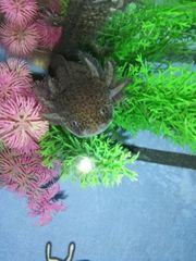 Axolotl Nachzucht Jungtiere Wildling