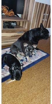 französische Bulldoggen welpen Hündin