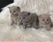KatzenBabys - Lilac - Kater - Mädchen - Blue