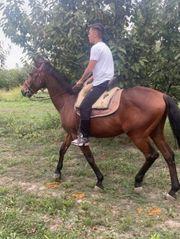 verkaufe mein Lusitano Wallach Pferd
